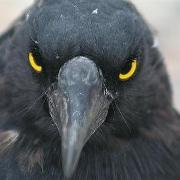 Сколько лет живут вороны